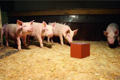 Schweine & Kleintiere